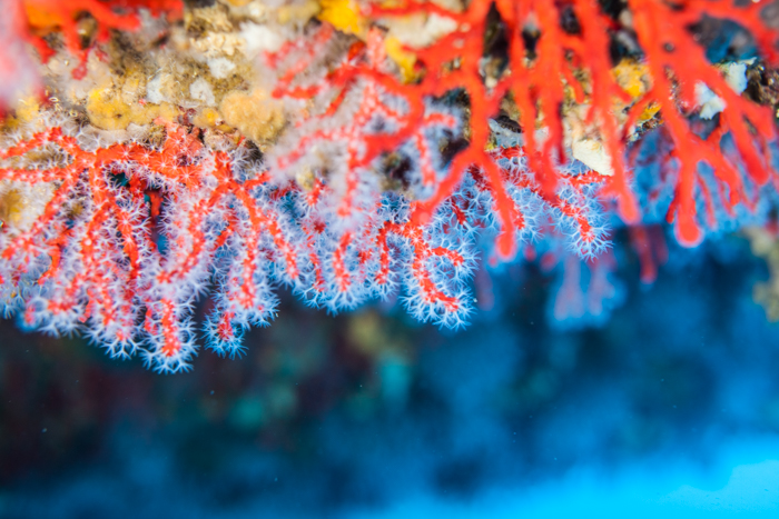 corail_rouge_la_ciotat