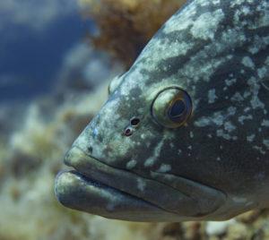 Mérou de Méditerranée Kraken Plongée